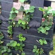 pallets-voor-aardbeien